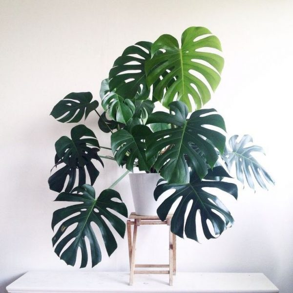 DIY: Monstera stekken